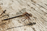 Gomphus exilis, Lancet Clubtail, female; Cumberland County, New Jersey  2011-05-06  #1